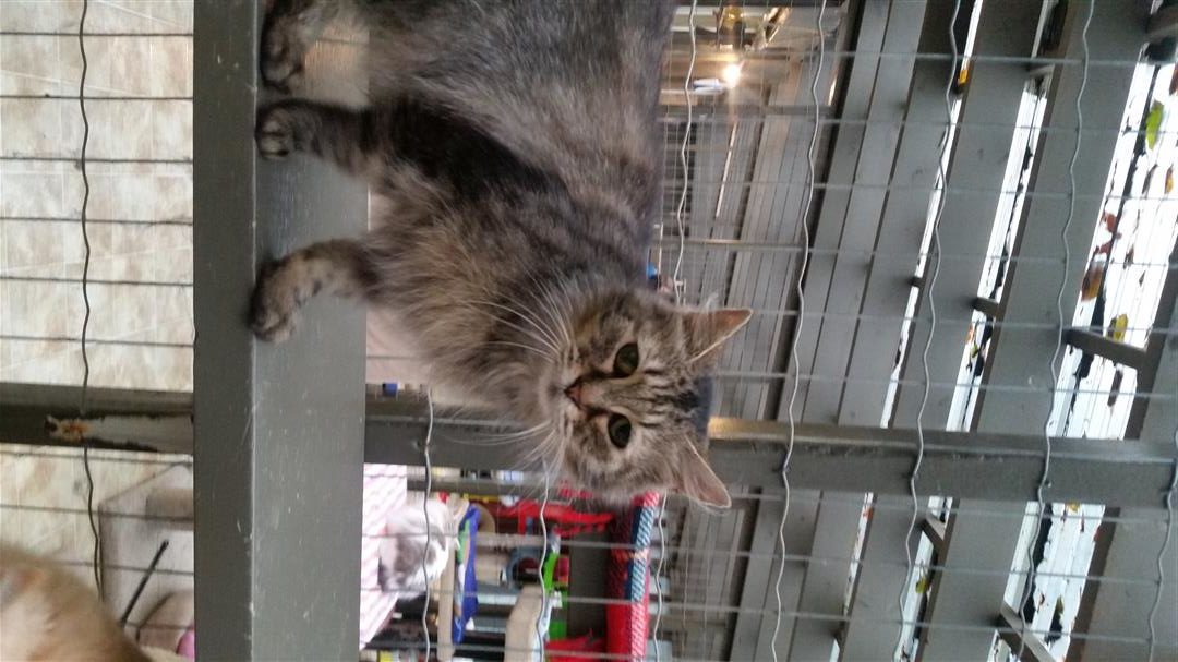Katie captured our hearts at the shelter. She went from a terrified cat literally climbing up the metal mesh walls to the roof, to relaxing and purring while I pet her in the course of 3-5 minutes astonishing all around.