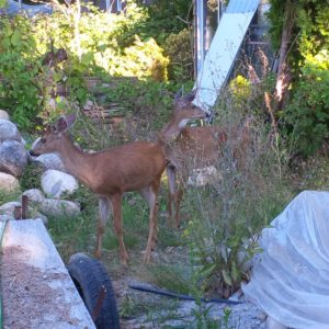 Two young deer visited the site.