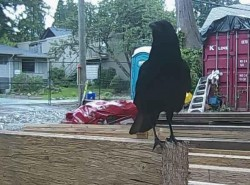 Resident crow vocalizing his desire for some cat treats